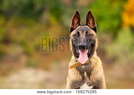 Belgian Malinois Young Puppy