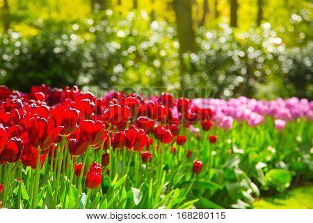 Tulips park Keukenhof - flower garden, Holland. Flower bed of colourful tulips in spring. Colorful tulips in the Keukenhof park, Holland, Netherlands. Fresh blooming tulips in the spring garden.
