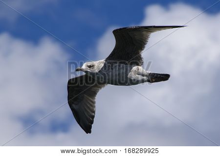 Juvenile Herring Gull Larus argentatus flying with wings outstretched