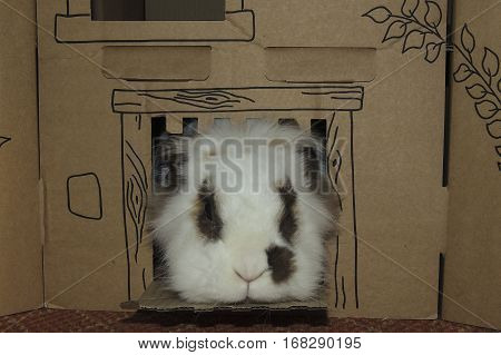 Small Lionhead rabbit with brown spots round eyes and on side of nose looking out of cardboard castle