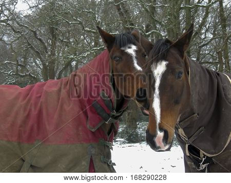 Warmblood and thoroughbred horses standing together in snow wearing rugs