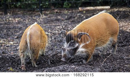 Family of pigs closeup.Bush pigs went for a walk. A large wild boar, with a bright ginger color, large ears and sharp fangs. Potamochoerus porcus.