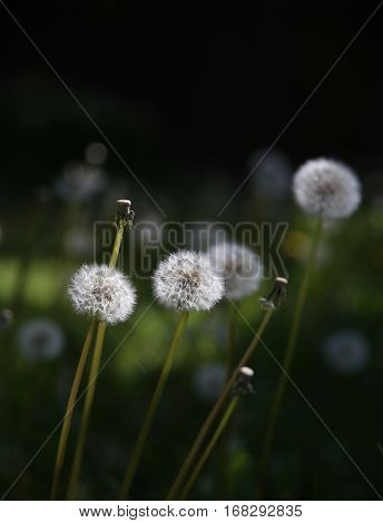 dandelions blooming in the spring in front of a wood fence toned with a retro vintage instagram filter with dark space for copy text
