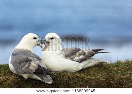 Orkneys Scotland - June 5 2012: Closeup of two white-gray seagulls showing their affection for each other while seated on a dry grassy bank against the blue sky background. Their beaks are mingled.