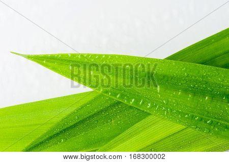 closeup green fresh Pandan leaves Thai herbal