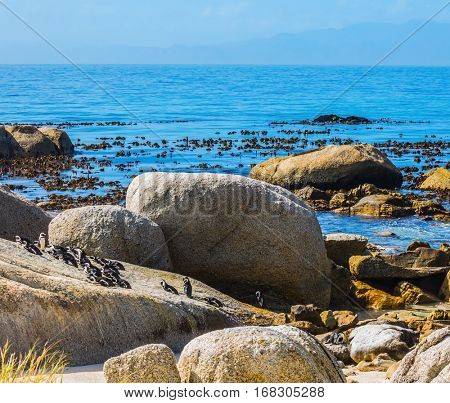 African black-white penguins. Boulders Penguin Colony in the South Africa. Large rocks and seaweed on the beach of Atlantic Ocean. The concept of ecotourism