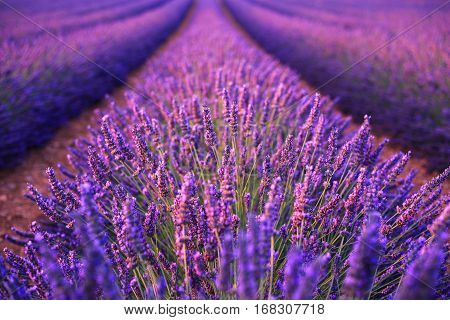Lavender field in the summer in Valensole.ProvenceFrance.( soft focus)