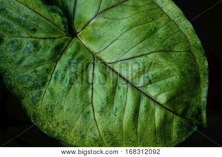 Fine details of a green leaf on a houseplant with a black background