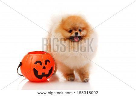 Pomeranian Spitz dog with Halloween basket studio shoot Isolated