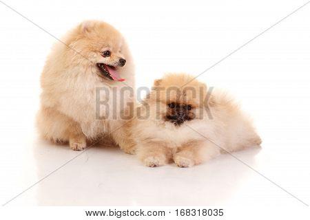 Two Pomeranian Spitzes .Isolated on white background