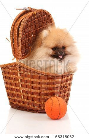 Pomeranian Spitz in the wicker on the white background isolated