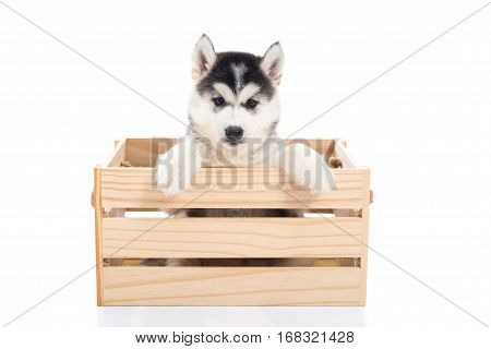 Cute Siberian husky puppy sitting in a wooden crate on white background isolated