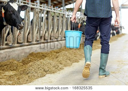 agriculture industry, farming, people and animal husbandry concept - young man or farmer with bucket walking along cowshed and cows on dairy farm