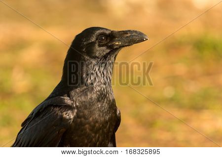 Brigh black plumage of a crow in the nature