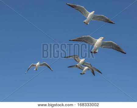 Flying seagulls with open wings in group.
