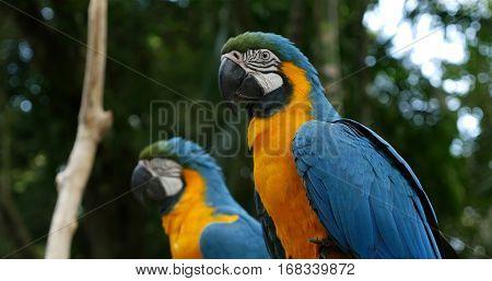 Macaw bird on the nature in Foz do Iguazu, Brazil