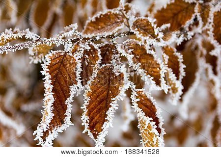 Beautiful winter image - close up of frozen tree branch and bright orange leaves covered with rime - photo with tilt-shift effect