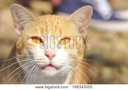 brown cat on the floor snarl cat