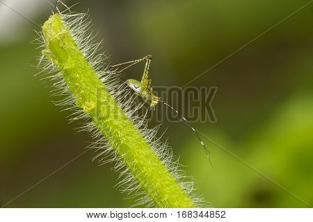 An immature katydid nymph on a grass