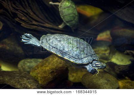 A sea turtle swimming at an aquarium
