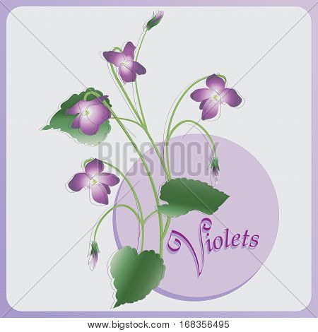 Bunch of violets. Vector image. Composition for decoration holiday cards, packaging, perfume, confectionery, Souvenirs.