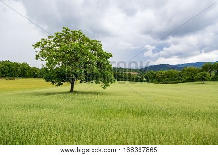 Beautiful Landscape And Lone Tree In Tuscany