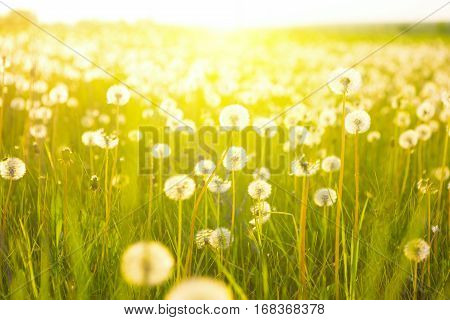 Meadow Of Dandelions To Make Dandelion Wine.