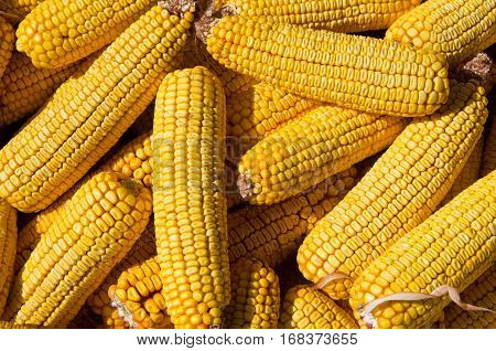 Corn on cobs closeup. Grains of ripe maize. Suitable for background. Forage mealies seed. Export and import of grain.