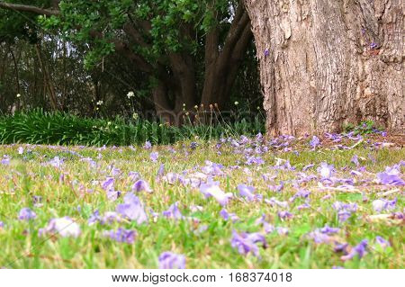 Fallen Jacaranda blossom on a grass field near tree