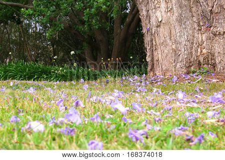Fallen Jacaranda blossom on a grass field near tree