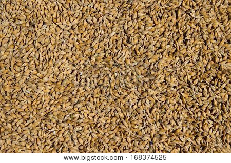 Barley grain. The view from the top. Product for beer production. Export and import of grain.