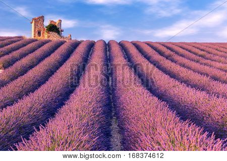 Lavender field summer landscape near Valensole. Provence