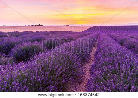 Beautiful landscape of lavender fields at sunset near Valensole Provence-France