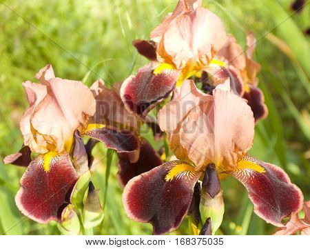 Few irises of double pink and crimson colours on flowerbed horizontal.