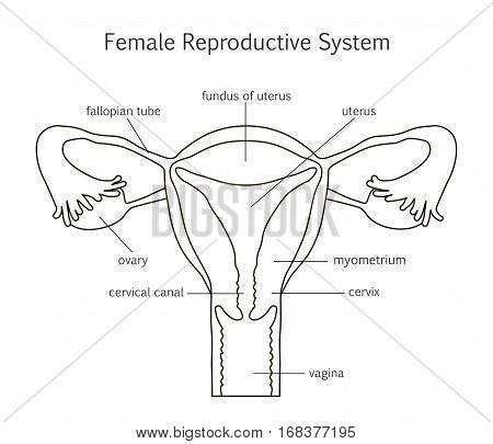 Female Reproductive System. Line icon. Vector illustration