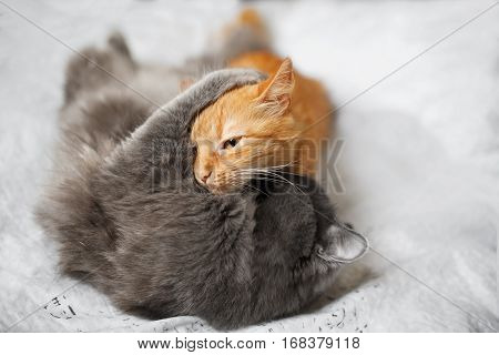 Two fluffy cats fight on a light background