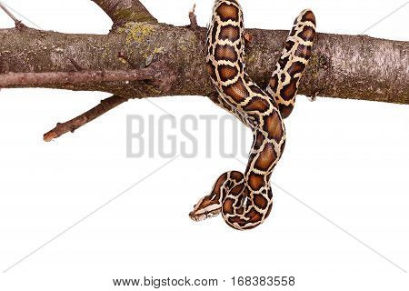 Butter Ball Royal Python Moorish Viper Boa Snake On A Branch With Flowers Isolated On White