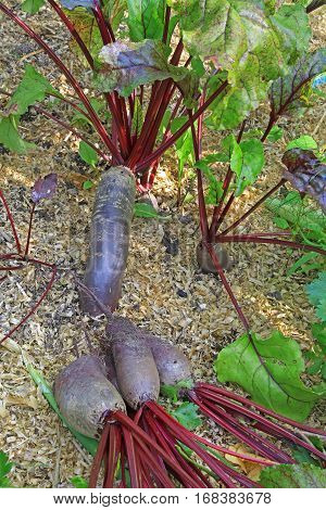 crop of beetroot (Beta vulgaris) in the garden