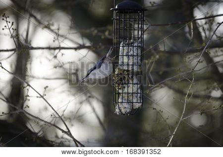 One wild nuthatch Sit in the three and eat seed