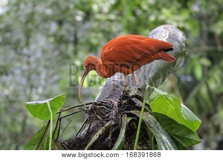 one beutiful red ibis standing in a tree looking for food