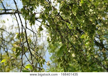 Fruits elm on the branches of a tree. Natural background.