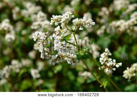 Flowering plants of buckwheat on a blur background