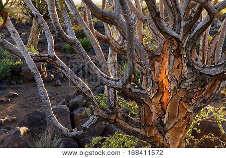 Trunk of the Quiver Tree in forest outside of Keetmanshoop Namibia at sunset. Warm evening light