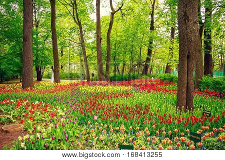 Park With Beautiful Colorful Spring Tulips.