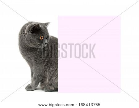 gray cat sits near a banner. white background - horizontal photo.
