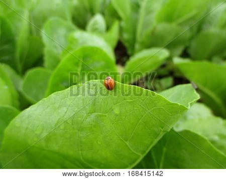 Close-up of a red ladybug on the edge of bright green leaf with morning dew