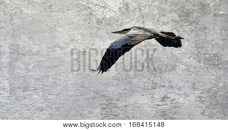 A grey Heron flying over the Berg River
