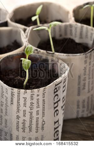 Cultivate tomato seedlings in small paper pots