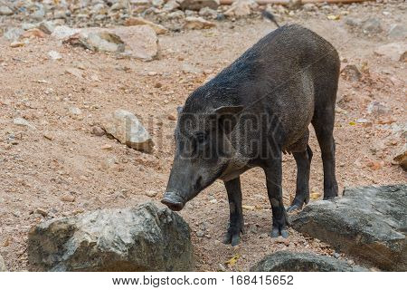 Wild boar in their natural habitat. Wild boar in the forest.