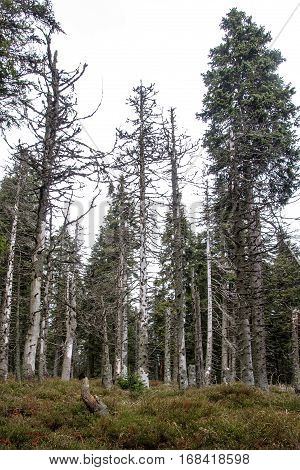 Dying coniferous forest in the Jeseniky mountains, Czech Republic